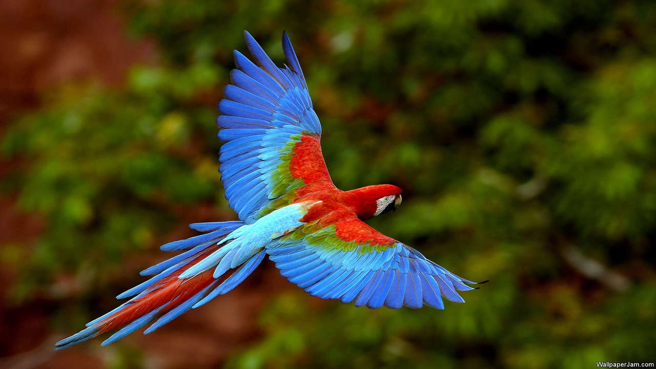 African Parrots HD Screensaver Image 2
